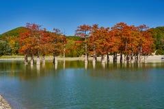 Goldener Taxodium distichum Stand majestätisch in einem herrlichen See gegen den Hintergrund des Kaukasus im Fall Herbst lizenzfreie stockfotografie