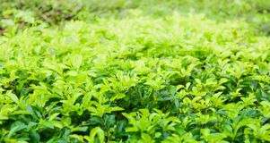 Goldener Teebaum Lizenzfreie Stockbilder