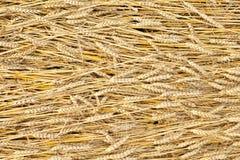 Goldener völlig reifer Weizenfeld-Beschaffenheitshintergrund Stockfotos