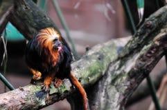 Goldener vorangegangener Lion Tamarin, der eine Mandel isst Lizenzfreie Stockfotos