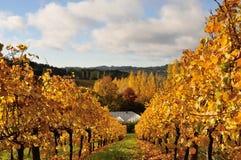 Goldener Weinberg im Herbst Stockbild
