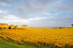 Goldener Weinberg im Herbst Stockbilder