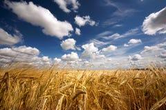 Goldener Weizen Lizenzfreie Stockfotos