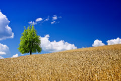 Goldener Weizen Stockfotos