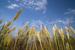 Goldener Weizen Lizenzfreies Stockbild