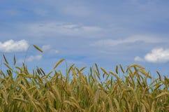 Goldener Weizen auf dem Feld Lizenzfreies Stockbild