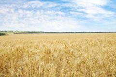 Goldener Weizen auf dem Korngebiet lizenzfreies stockbild