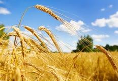 Goldener Weizen auf einem Bauernhofgebiet Stockbild