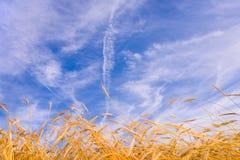 Goldener Weizen betriebsbereit zum Erntewachsen lizenzfreie stockbilder