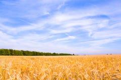 Goldener Weizen betriebsbereit zum Erntewachsen lizenzfreies stockfoto