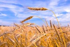 Goldener Weizen betriebsbereit zur Ernte, die in einem Bauernhof wächst stockbilder