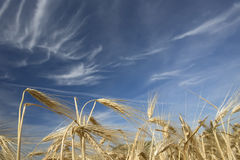 Goldener Weizen, der auf einem Bauernhofgebiet wächst Stockbild