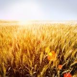 Goldener Weizen-fileld mit Sonnenschein lizenzfreie stockfotos