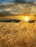 Goldener Weizenanbau auf einem Bauernhofgebiet Lizenzfreie Stockbilder