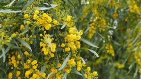 Goldener Zweig-Blüten im Frühjahr 08 stock video footage