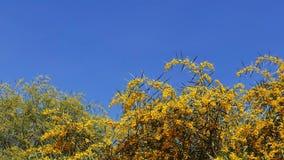 Goldener Zweig-Blüten im Frühjahr 18 stock video footage