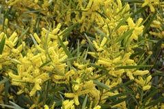 Goldener Zweig Sydneys Lizenzfreies Stockfoto