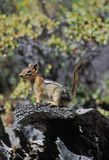 Goldenes überzogenes Eichhörnchen Lizenzfreie Stockfotos
