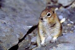 Goldenes überzogenes Grundeichhörnchen Stockbild