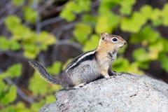 Goldenes überzogenes Grundeichhörnchen   Stockbilder