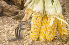 Goldenes überzogenes Grundeichhörnchen Lizenzfreie Stockbilder