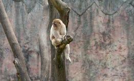 Goldenes Affe-Makaken-Macaca mulatta Stockfotografie