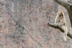 Goldenes Affe-Makaken-Macaca mulatta Stockbild