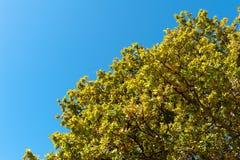 Goldenes Ahornblatt auf blauem Himmel Stockbilder
