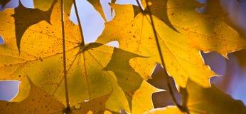Goldenes Ahornblatt am Sonnenuntergang. Lizenzfreies Stockbild