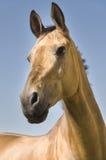Goldenes Akhal-teke Pferd Stockbilder