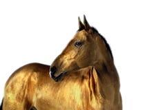 Goldenes akhal teke Pferd Lizenzfreie Stockfotos