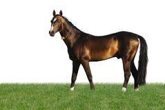 Goldenes akhal-teke Pferd getrennt auf Weiß Stockbilder