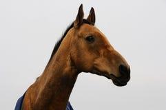 Goldenes akhal-teke Pferd im Winter Stockfoto