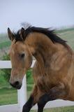 Goldenes akhal teke Pferdenspringen Stockbilder
