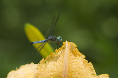 Goldenes Aprikosen-Farbedaylily-Blumenblatt und Blau Dasher-Libelle Stockbilder
