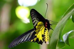 Goldenes Birdwing No.2 Lizenzfreies Stockfoto