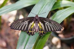 Goldenes Birdwing oder kleiner Birdwing-Schmetterling (Troides-aeacus) lizenzfreie stockfotos