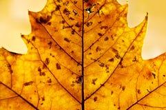Goldenes Blatt im Herbst Lizenzfreies Stockbild