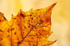 Goldenes Blatt im Herbst Stockfotografie