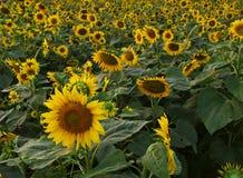 Goldenes Blumenbett Stockfotos