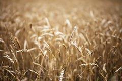 Goldenes braunes Weizenfeld Lizenzfreies Stockbild