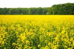 Goldenes Canolafeld Stockbild