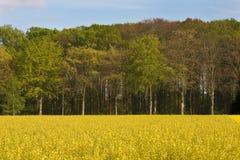 Goldenes coleseed Feld lizenzfreie stockfotografie