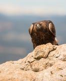 Goldenes Eagle auf einem Felsen lizenzfreie stockfotos