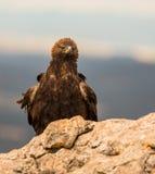 Goldenes Eagle auf einem Felsen stockfotografie