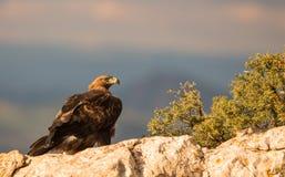 Goldenes Eagle auf einem Felsen Stockfotos