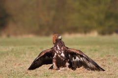 Goldenes Eagle mit Opfer Stockbild