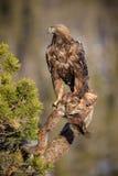 Goldenes Eagle mit Opfer Stockfoto