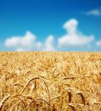 Goldenes Erntefeld Lizenzfreies Stockfoto