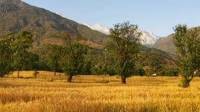 Goldenes Ernteweizenfeld Ferngebirgsregion kangra Himachal Indien lizenzfreie stockfotos